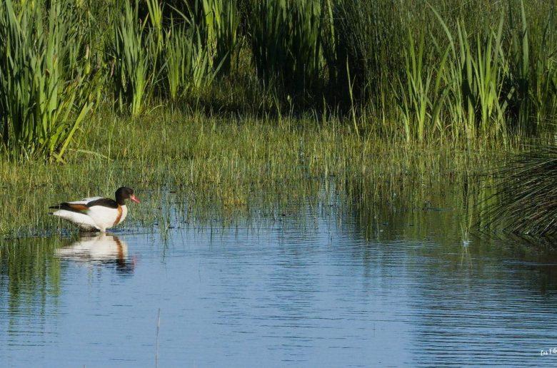 canard marais delta leyre