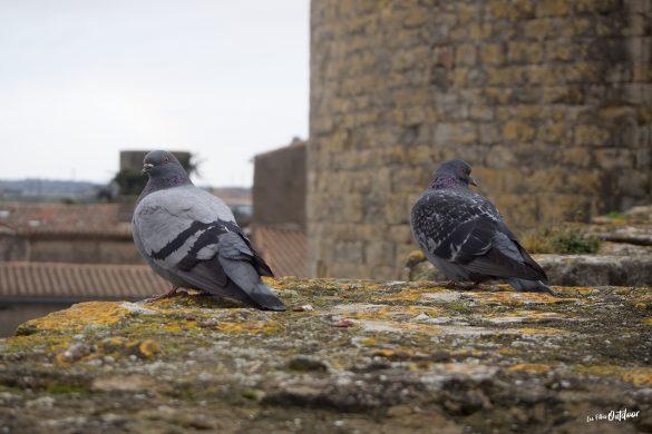 pigeons château de Carcassonne