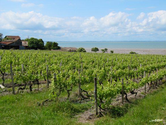 vignobles en charente à côté de l'estuaire
