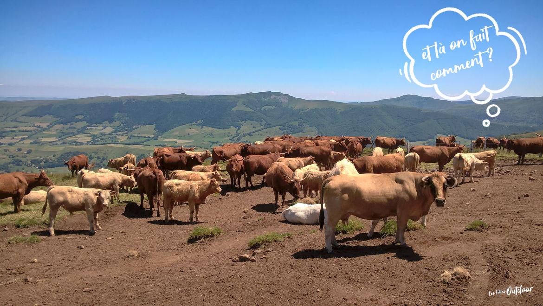 troupeau vaches randonnée